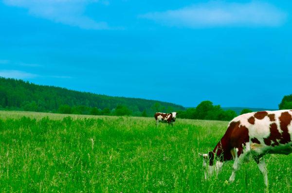 牛と空が背景の写真です